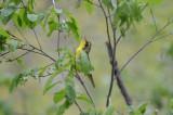 kentucky warbler marblehead