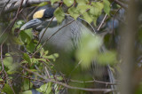 black-crowned night heron plum island