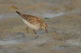 Appears t be  White-rumped Sandpiper. Reddish wash on back of neck and upper side, along with larger size very interesting
