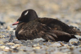 white-winged scoter plum island