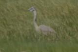unusual heron plum island