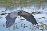 great blue heron great meadows