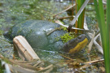 blandings turtle great meadows