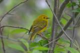 yellow warbler plum island
