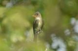 olive-sided flycatcher plum island