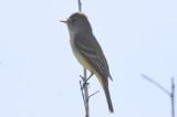 unidentified flycatcher plum island
