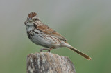 song sparrow plum island