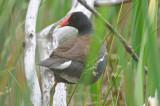 common gallinule center st marsh