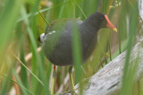 common gallinule center st marsh