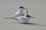 least terns sandy point plum island