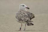 great black backed gull 2nd year band indicates appledore gull