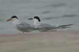 common tern and 1st yr roseate ?