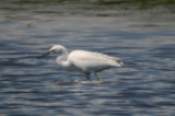 mystery egret, note darkish lores, dusky tips to primaries hybrid little bluexsnowy maybe