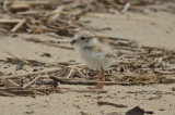 baby piping plover sandy point pi