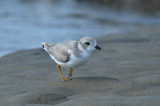 juv piping plover sandy point pi