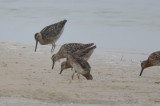 long and short-billed dowitcher plum island