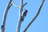 red-headed woodpecker ne biolabs ipswicj