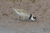 worn, cool looking feathers semipalmated plover