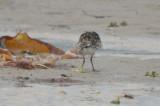 largish, long legged sanderling plum island