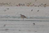 whimbrel with longish bill (female?) plum island