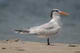 royal tern plum island