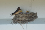 barn swallows wardens plum island