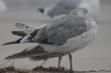 American Herring Gull-102.jpg