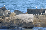 Sanderlings and common tern jetty in Merrimack