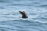 wilson's petrel doing that tricky leg tuck trying to look like someone else