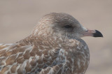 ring-billed Gull-plum island