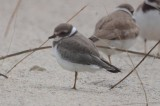 possible_common_ringed_plover