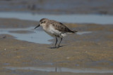 another sick looking shorebird #7 feather loss