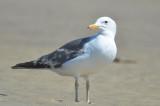 confusing gull sandy point plum island