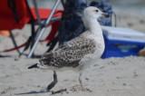 2nd yr tagged GBBG raiding beach goers bagsplum Island