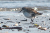 another diseased sandpiper revere beach