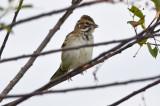 warden_sparrows_9-2-12