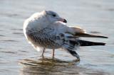 juv ring-billed gull sandy point plum island