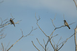 two of 4 kingbirds(family) plum island