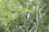 one of 4 kingbirds(family) plum island