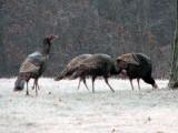 Wild Turkey at Fort Frederick