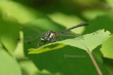 Lanthus vernalis
