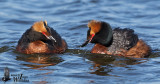 Horned Grebes (ssp.  auritus ) displaying