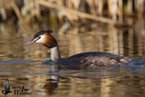 Adult Great Crested Grebe (ssp.  cristatus ) in breeding plumage