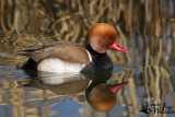 Adult male Red-crested Pochard in breeding plumage
