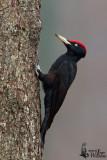 Adult male Black Woodpecker (ssp.  martius )
