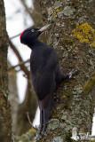 Adult female Black Woodpecker (ssp.  martius )