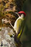 Adult male European Green Woodpecker (ssp.  viridis )