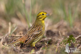 Adult male Yellowhammer (ssp.  citrinella )