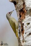 Adult male Grey-headed Woodpecker (ssp.  canus )