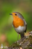 Adult European Robin (ssp.  rubecula )